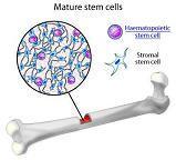 maturestemcell